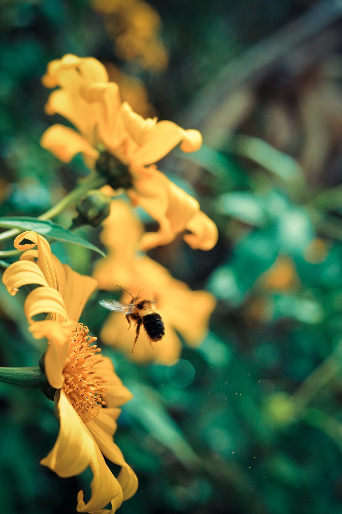 Một chú ong điếu cầy đang bay